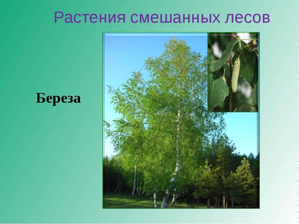 Растения смешанных лесов Береза
