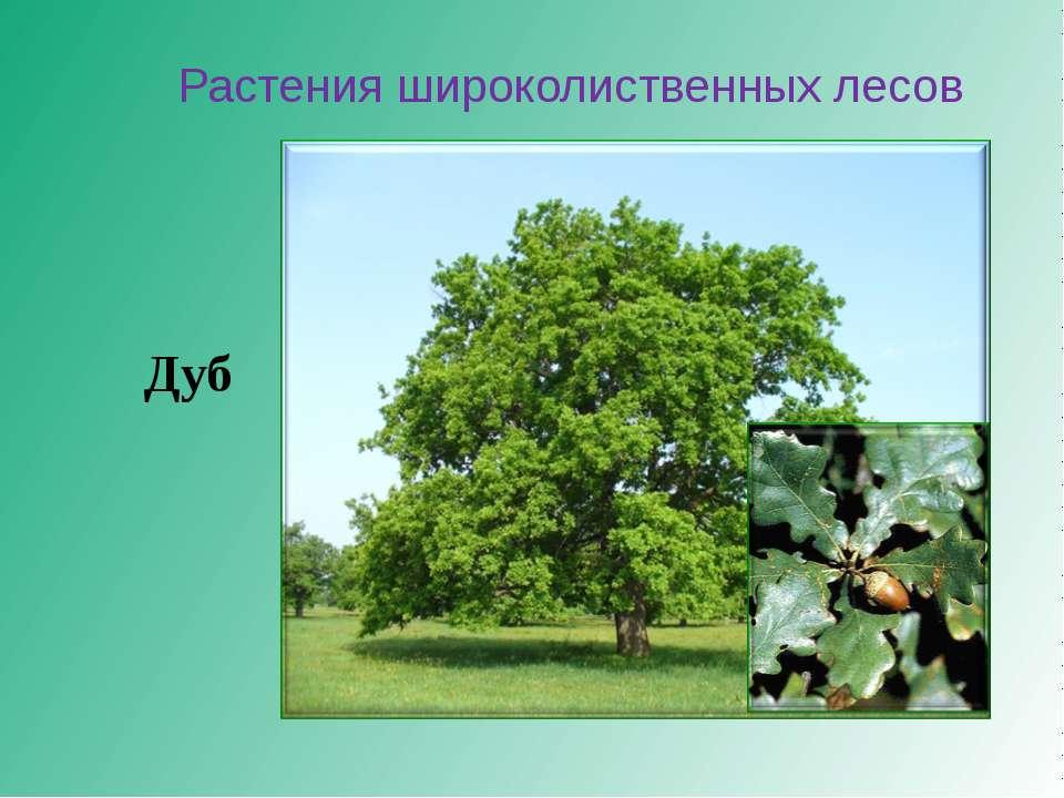 Растения широколиственных лесов Дуб