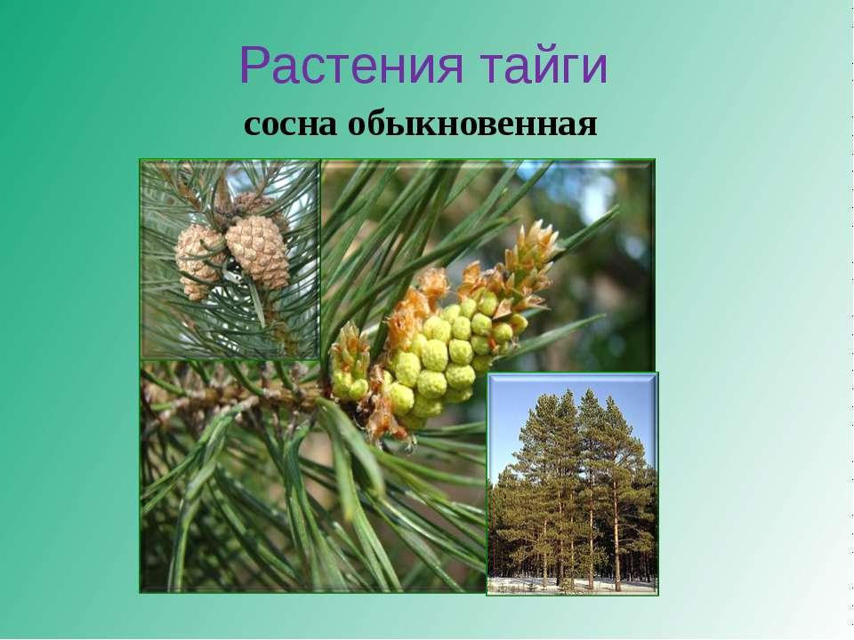 Растения тайги сосна обыкновенная
