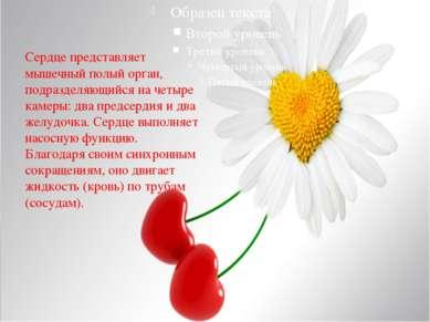 Сердце представляет мышечный полый орган, подразделяющийся на четыре камеры: ...
