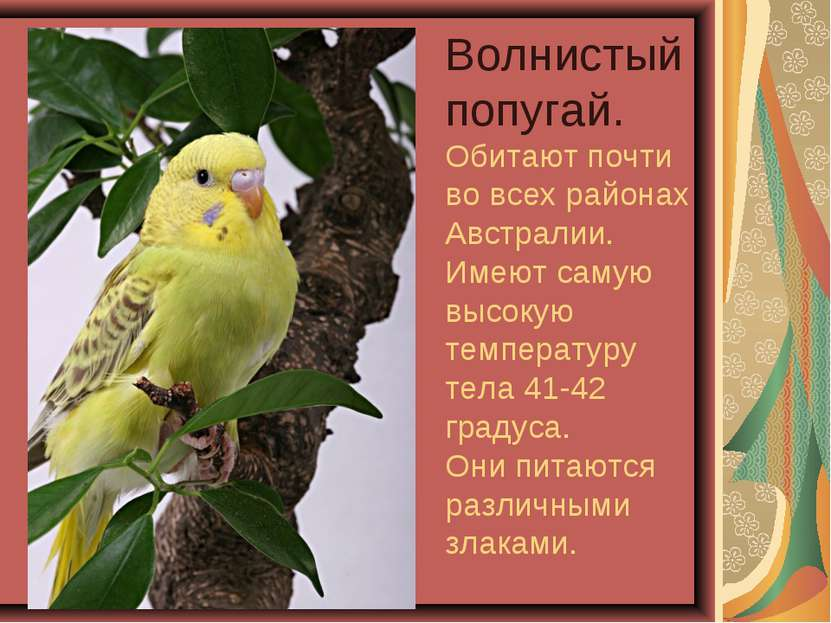 Волнистый попугай. Обитают почти во всех районах Австралии. Имеют самую высок...