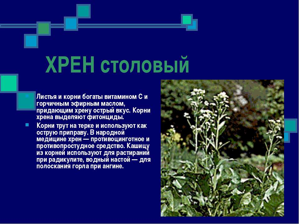 ХРЕН столовый Листья и корни богаты витамином С и горчичным эфирным маслом, п...
