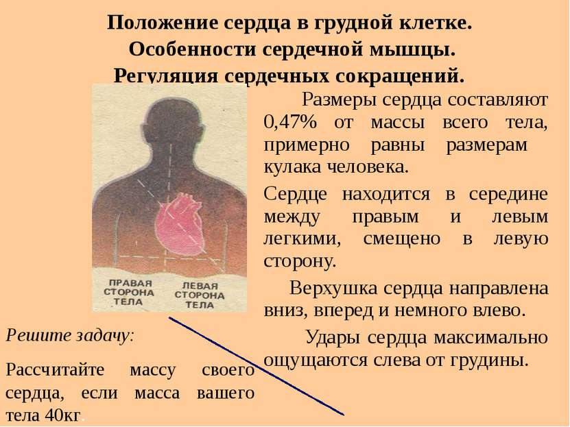 Положение сердца в грудной клетке. Особенности сердечной мышцы. Регуляция сер...