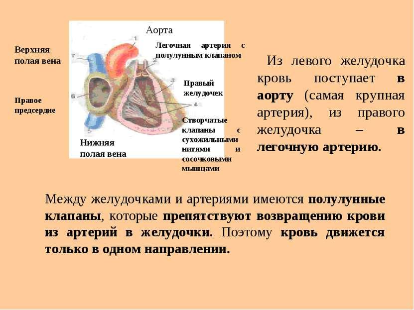 Из левого желудочка кровь поступает в аорту (самая крупная артерия), из право...
