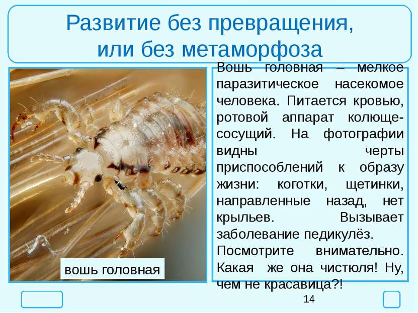 Развитие без превращения, или без метаморфоза Вошь головная – мелкое паразити...