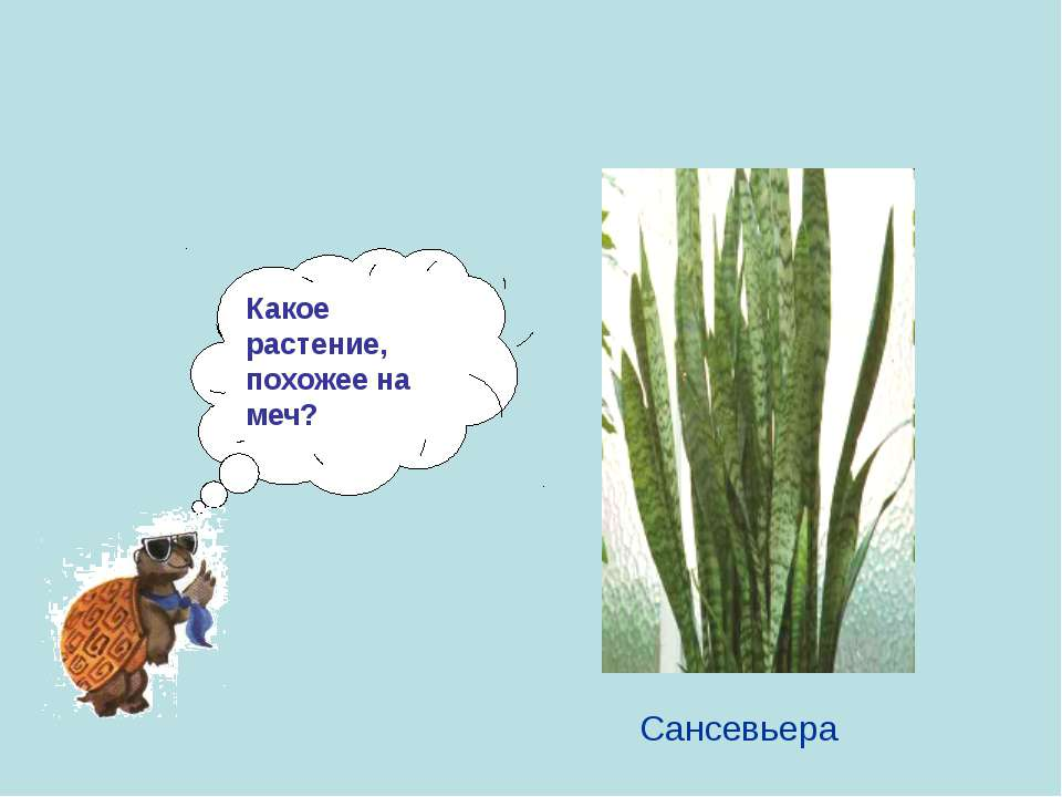 Какое растение, похожее на меч? Сансевьера