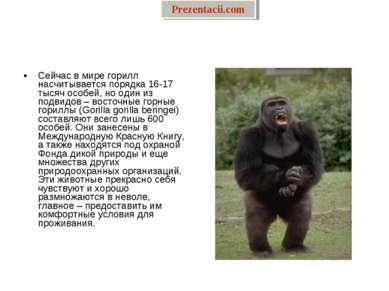 Сейчас в мире горилл насчитывается порядка 16-17 тысяч особей, но один из под...