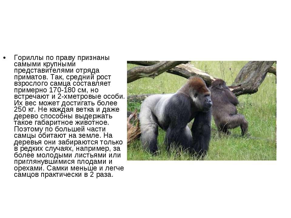 Гориллы по праву признаны самыми крупными представителями отряда приматов. Та...