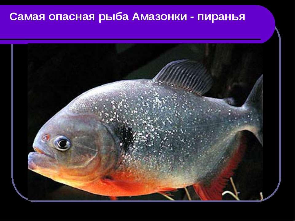 Самая опасная рыба Амазонки - пиранья