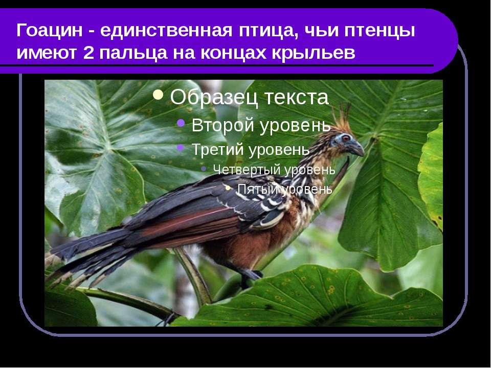 Гоацин - единственная птица, чьи птенцы имеют 2 пальца на концах крыльев