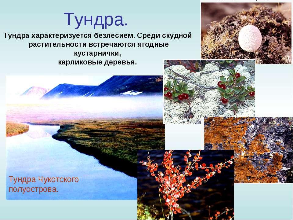 Тундра. Тундра характеризуется безлесием. Среди скудной растительности встреч...