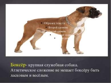 Боксёр- крупная служебная собака. Атлетическое сложение не мешает боксёру быт...