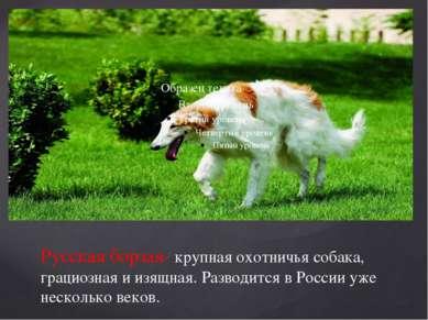 Русская борзая- крупная охотничья собака, грациозная и изящная. Разводится в ...