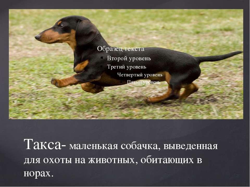 Такса- маленькая собачка, выведенная для охоты на животных, обитающих в норах.