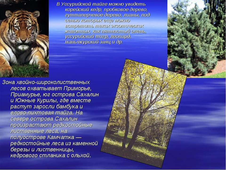 В Уссурийской тайге можно увидеть корейский кедр, пробковое дерево, гуттаперч...