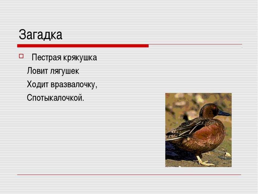 Загадка Пестрая крякушка Ловит лягушек Ходит вразвалочку, Спотыкалочкой.