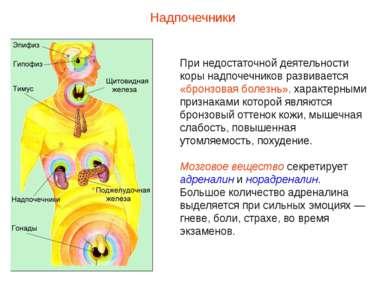 При недостаточной деятельности коры надпочечников развивается «бронзовая боле...
