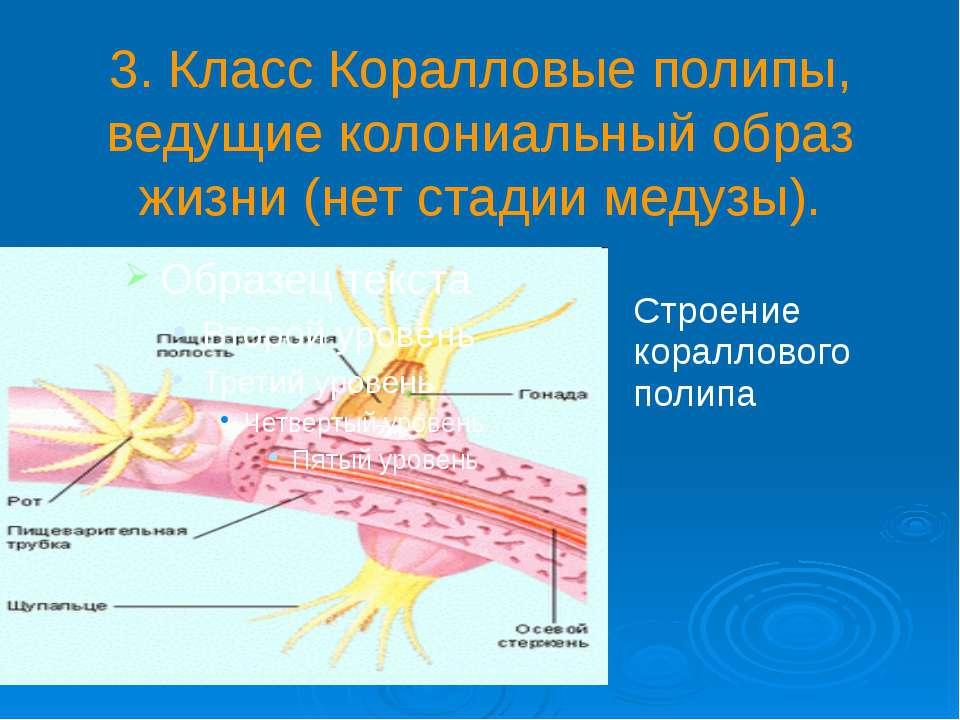 3. Класс Коралловые полипы, ведущие колониальный образ жизни (нет стадии меду...