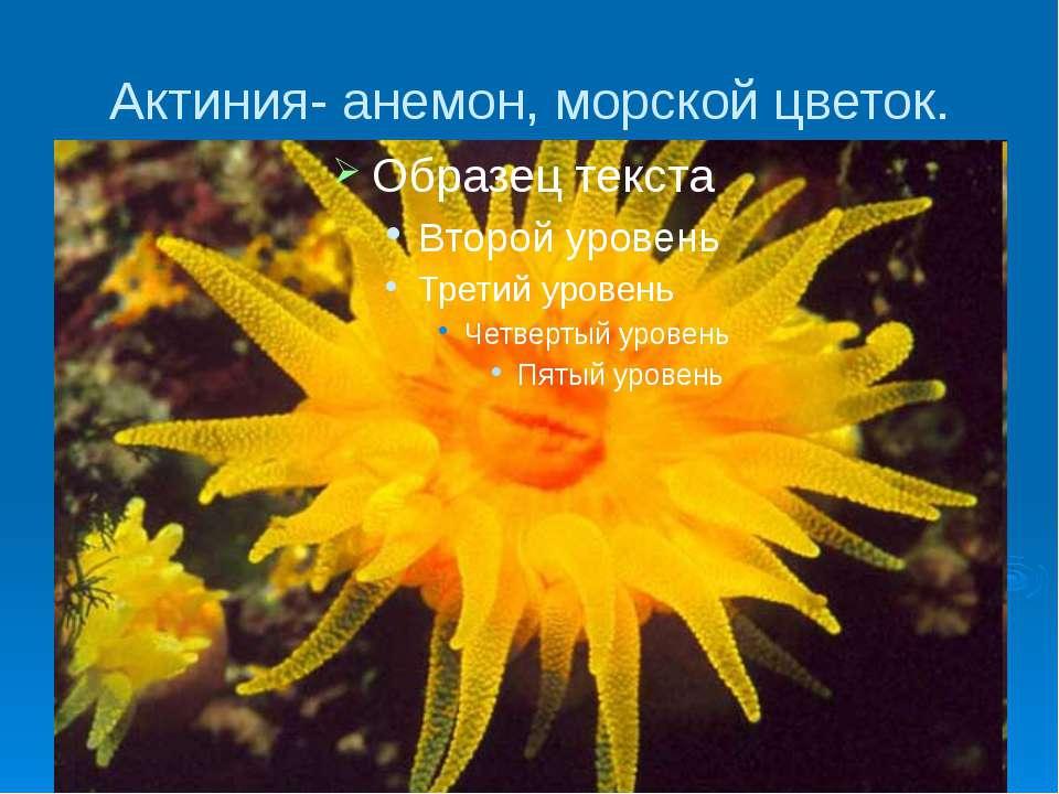 Актиния- анемон, морской цветок.