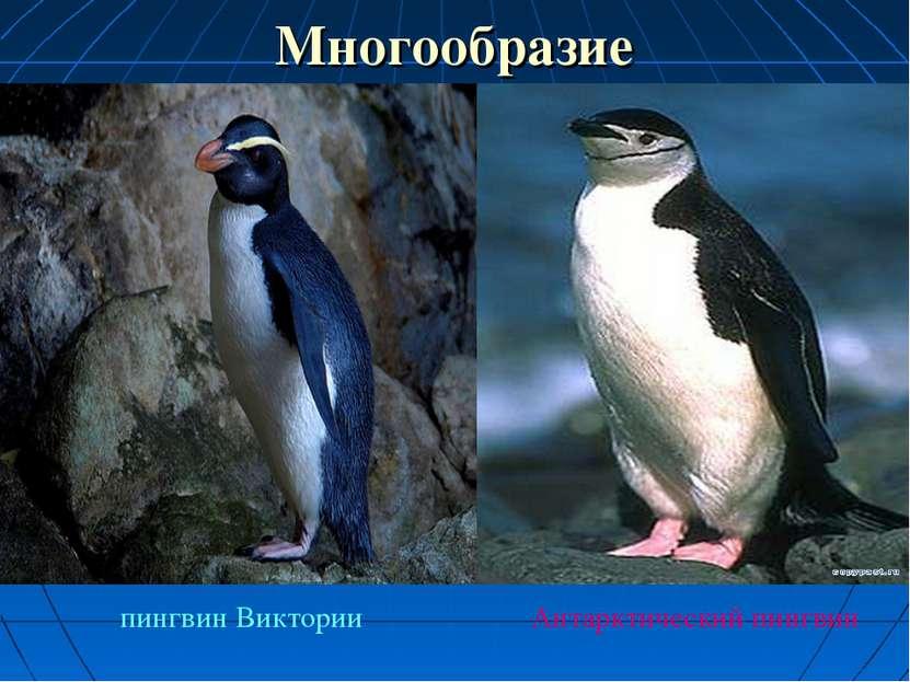Многообразие пингвин Виктории Антарктический пингвин