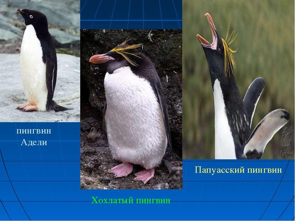 пингвин Адели Хохлатый пингвин Папуасский пингвин