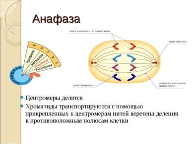 Анафаза Центромеры делятся Хроматиды транспортируются с помощью прикрепленных...