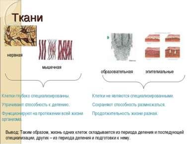 Ткани нервная мышечная образовательная эпителиальные Клетки глубоко специализ...