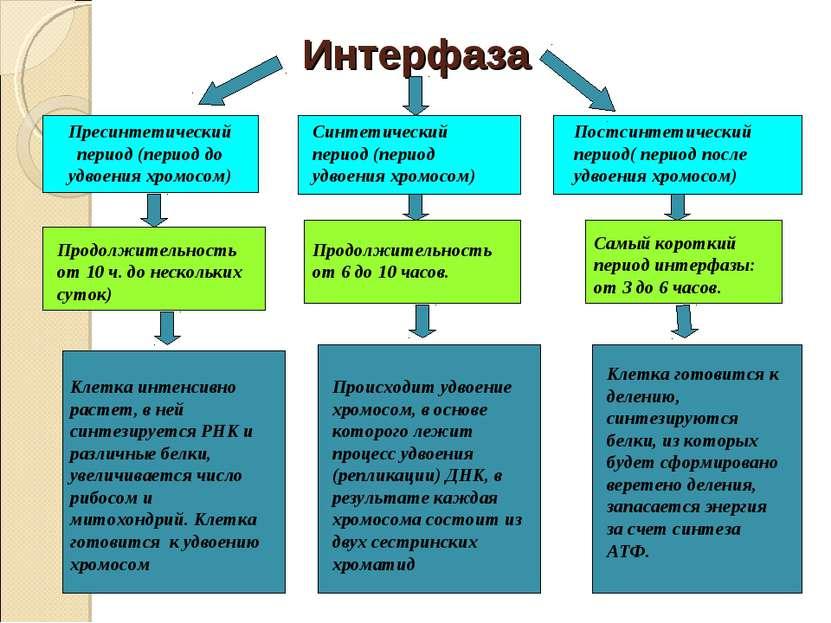 Интерфаза Пресинтетический период (период до удвоения хромосом) Синтетический...