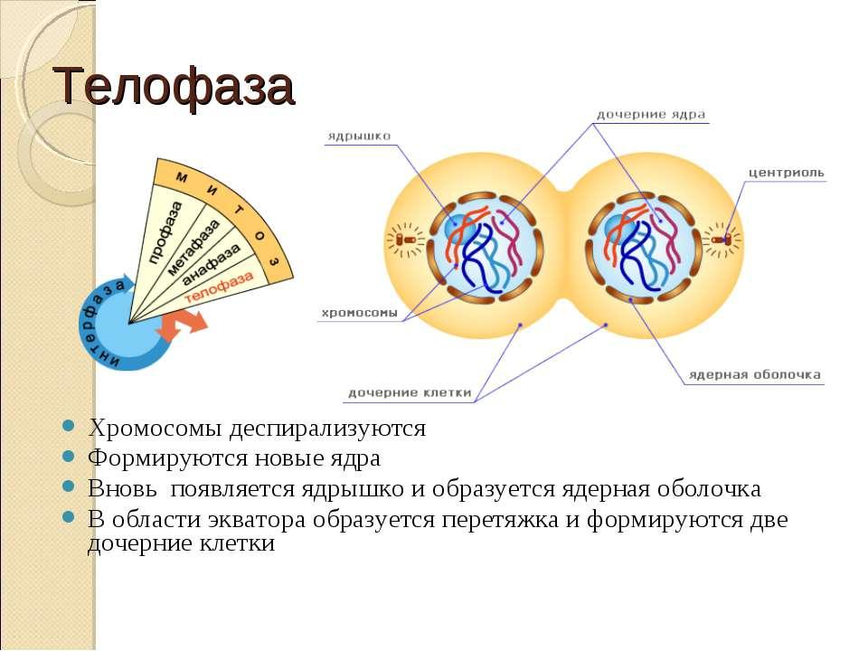 Телофаза Хромосомы деспирализуются Формируются новые ядра Вновь появляется яд...