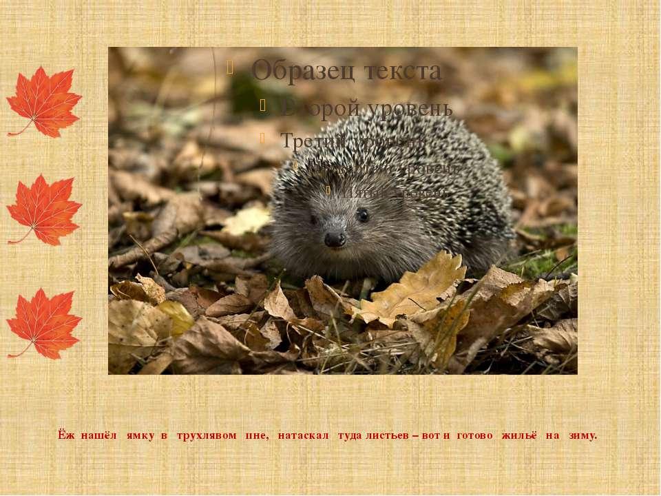 Ёж нашёл ямку в трухлявом пне, натаскал туда листьев – вот и готово жильё на ...