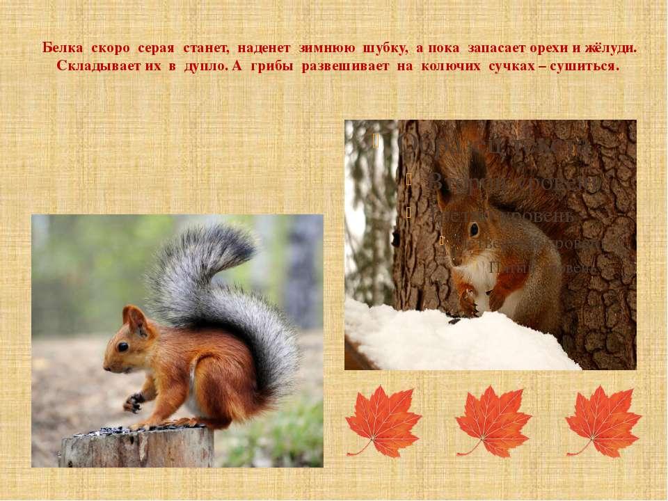 Белка скоро серая станет, наденет зимнюю шубку, а пока запасает орехи и жёлуд...