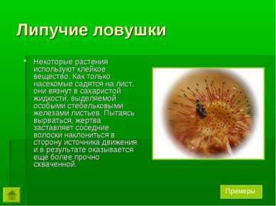 Липучие ловушки Некоторые растения используют клейкое вещество. Как только на...