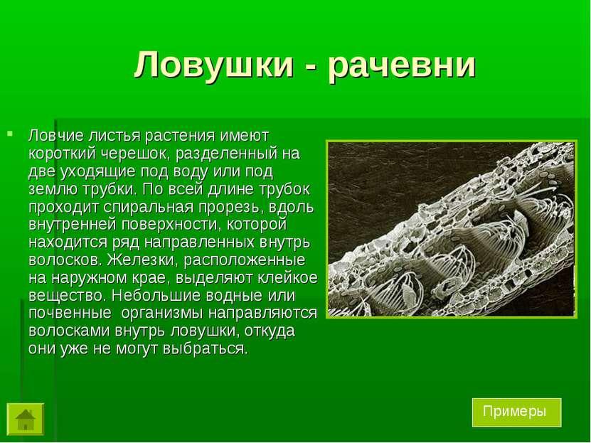 Ловушки - рачевни Ловчие листья растения имеют короткий черешок, разделенный ...