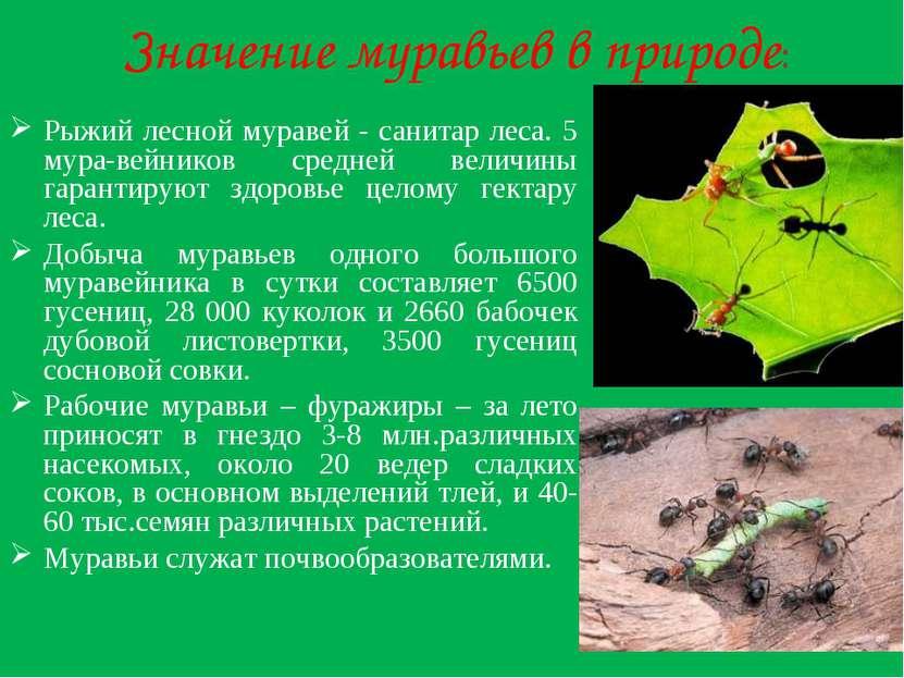 Значение муравьев в природе: Рыжий лесной муравей - санитар леса. 5 мура-вейн...
