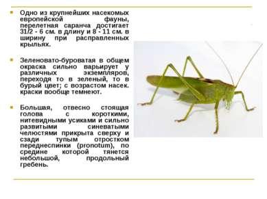 Одно из крупнейших насекомых европейской фауны, перелетная саранча достигает ...