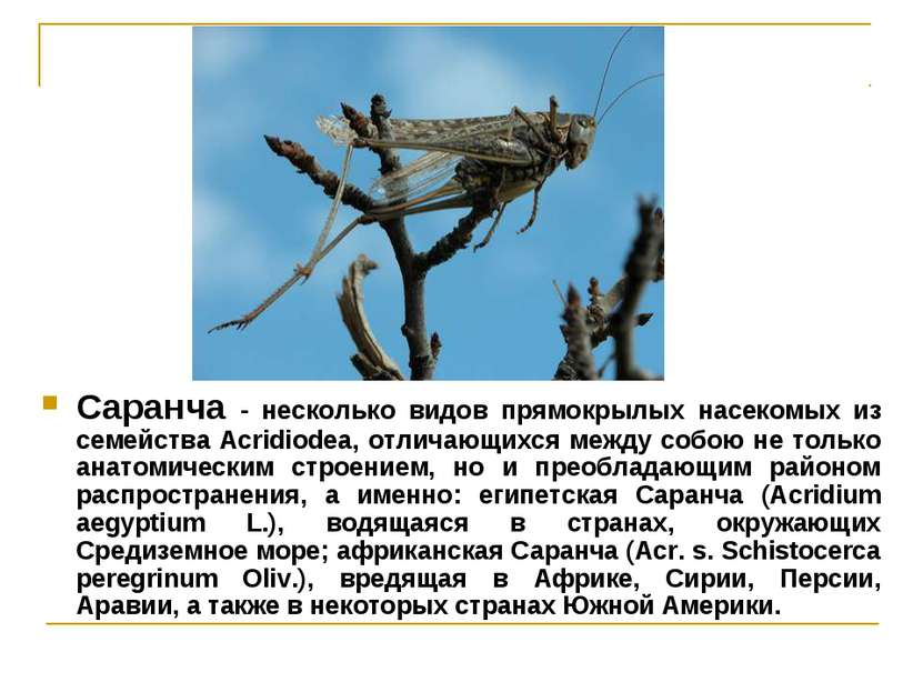 Саранча - несколько видов прямокрылых насекомых из семейства Acridiodea, отли...