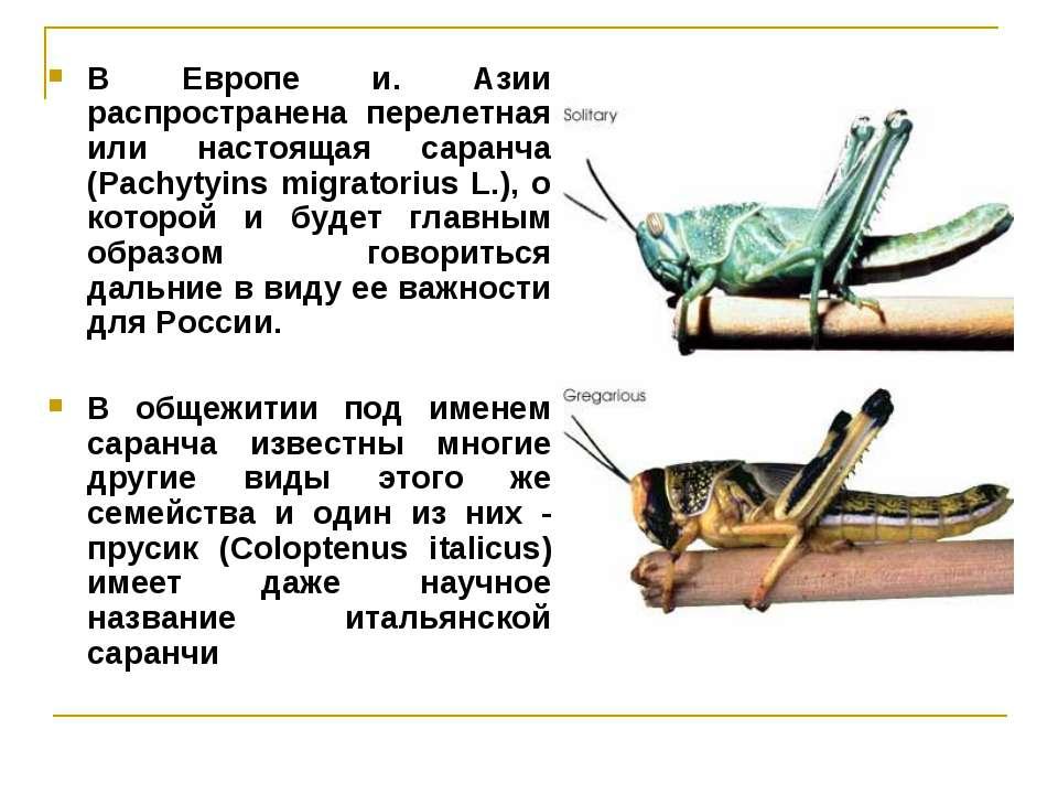 В Европе и. Азии распространена перелетная или настоящая саранча (Pachytyins ...
