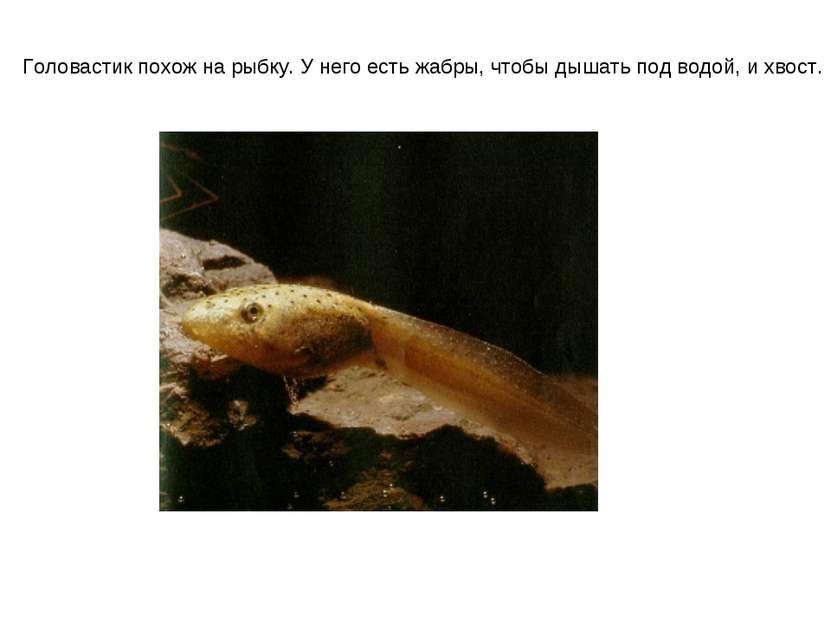 Головастик похож на рыбку. У него есть жабры, чтобы дышать под водой, и хвост.