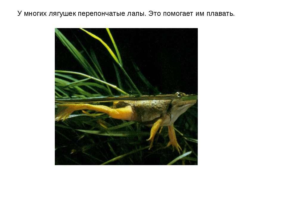 У многих лягушек перепончатые лапы. Это помогает им плавать.