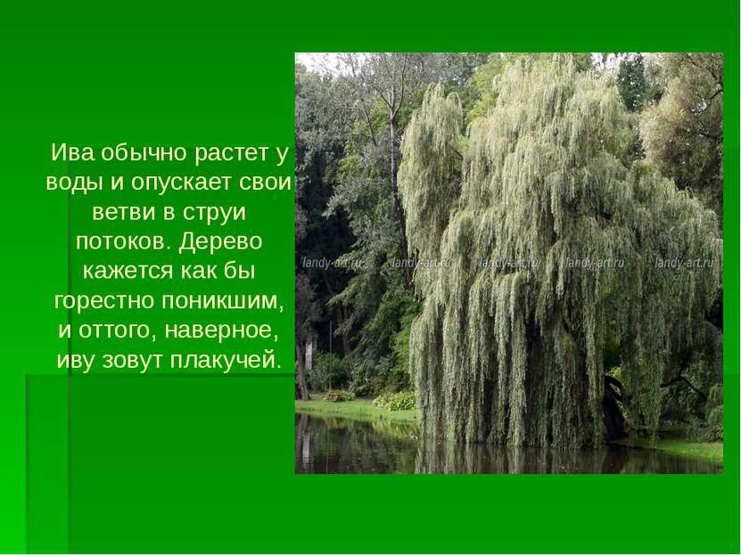 Ива обычно растет у воды и опускает свои ветви в струи потоков. Дерево кажетс...