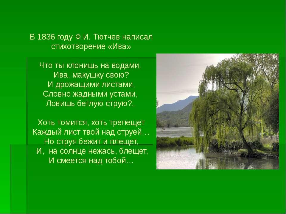 В 1836 году Ф.И. Тютчев написал стихотворение «Ива» Что ты клонишь на водами,...