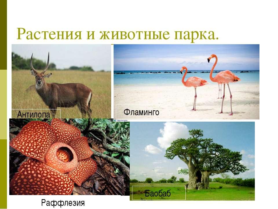 Растения и животные парка. Антилопа Фламинго Раффлезия Баобаб Фламинго