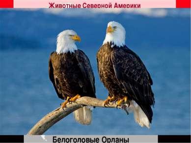Белоголовые Орланы Животные Северной Америки