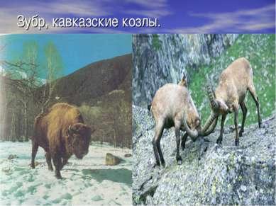 Зубр, кавказские козлы.