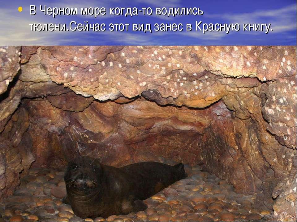 В Черном море когда-то водились тюлени.Сейчас этот вид занес в Красную книгу.