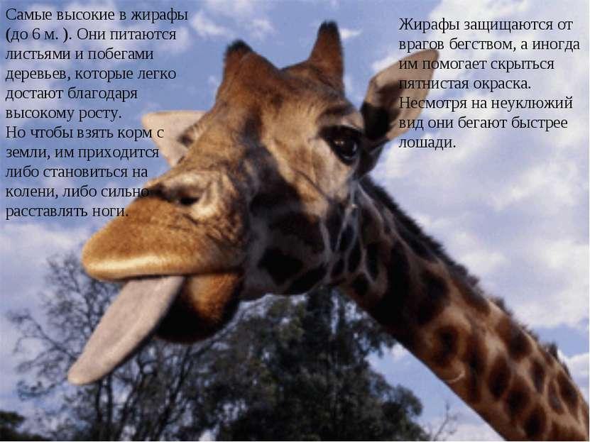Жирафы защищаются от врагов бегством, а иногда им помогает скрыться пятнистая...