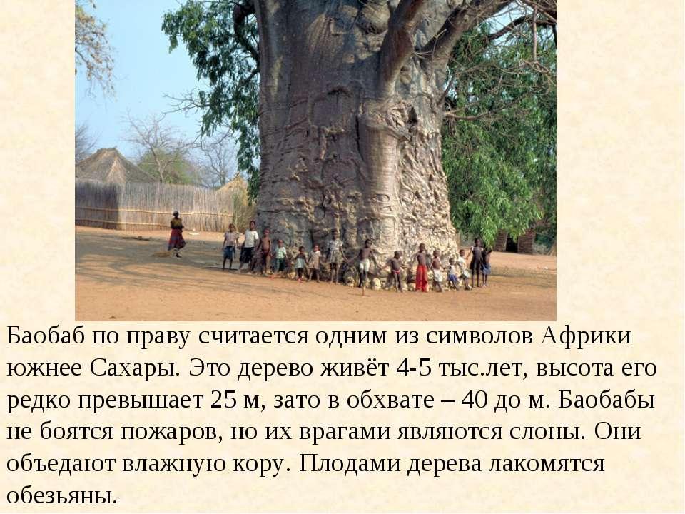 Баобаб по праву считается одним из символов Африки южнее Сахары. Это дерево ж...