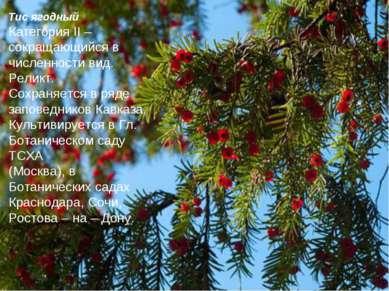 Тис ягодный Категория II – сокращающийся в численности вид. Реликт. Сохраняет...
