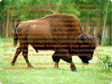 Зубр – самое крупное млекопитающее животное России. Вес зубра до 1200 кг, выс...