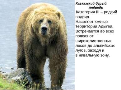 Кавказский бурый медведь Категория III – редкий подвид. Населяет южные террит...